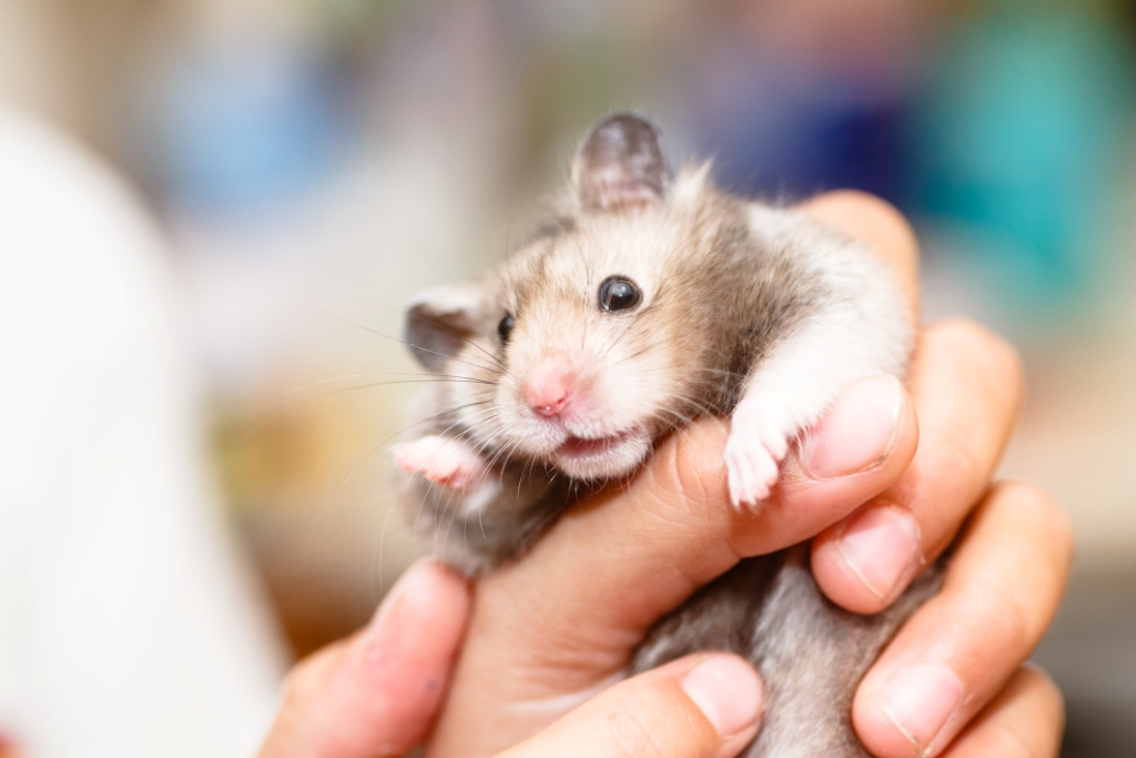 An image of a grey syrian hamster